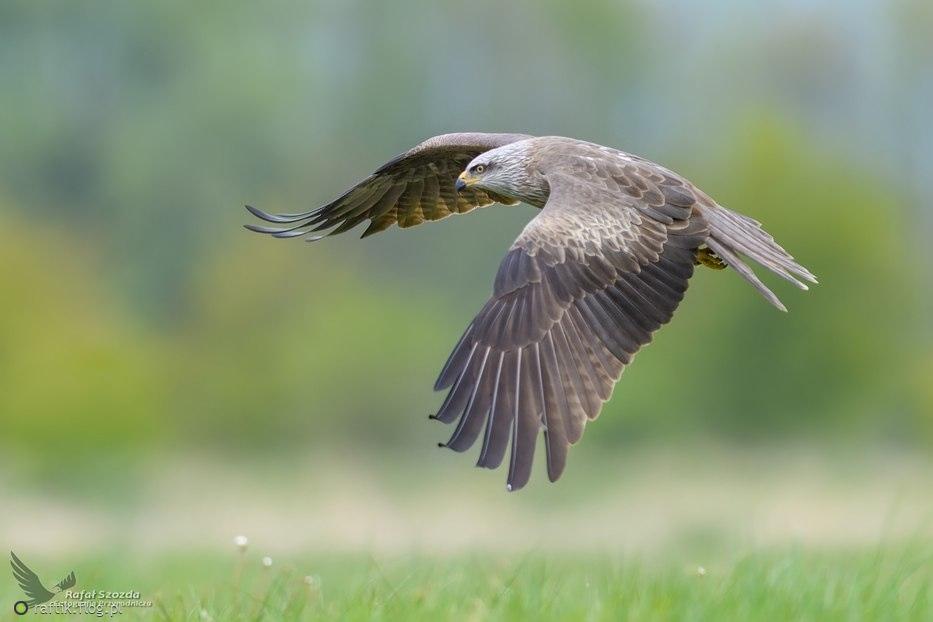 Kania Czarna, Black Kite (Milvus migrans) ... 2017r