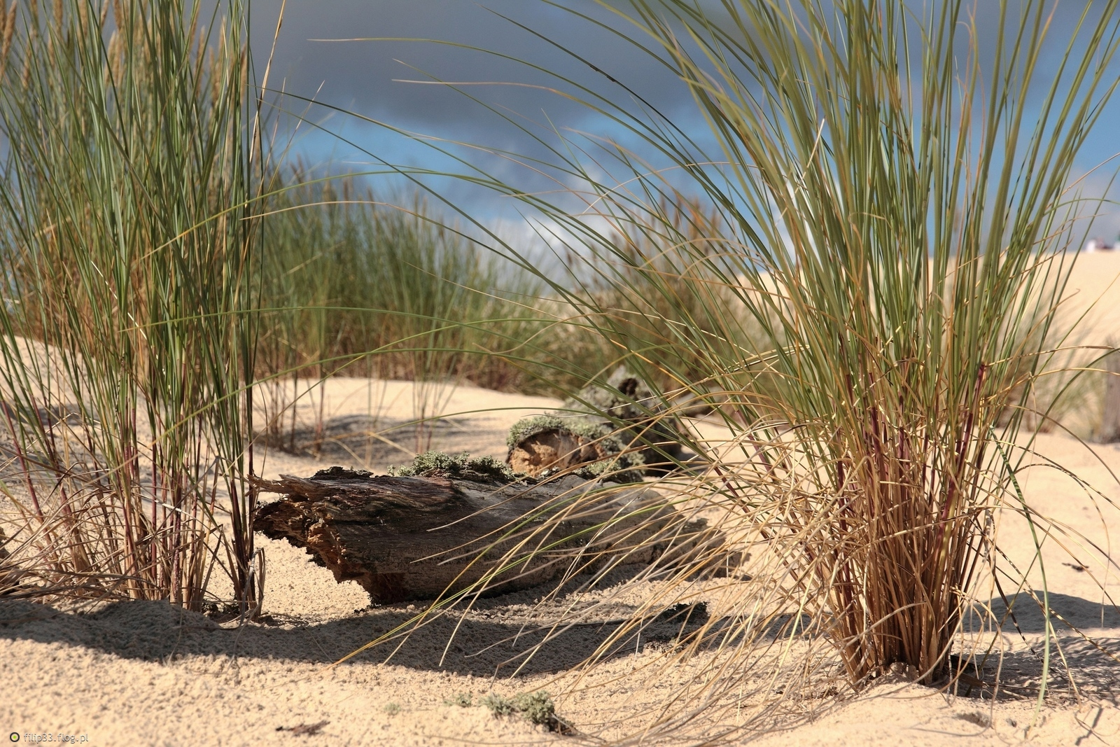 A na piasku trawy rosną ...