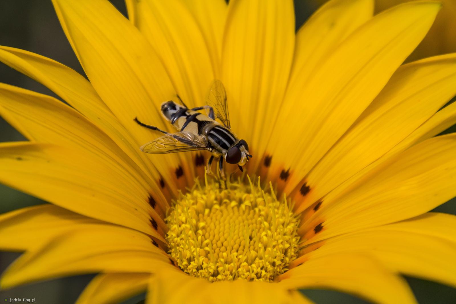 Muchówka z bzygowatych