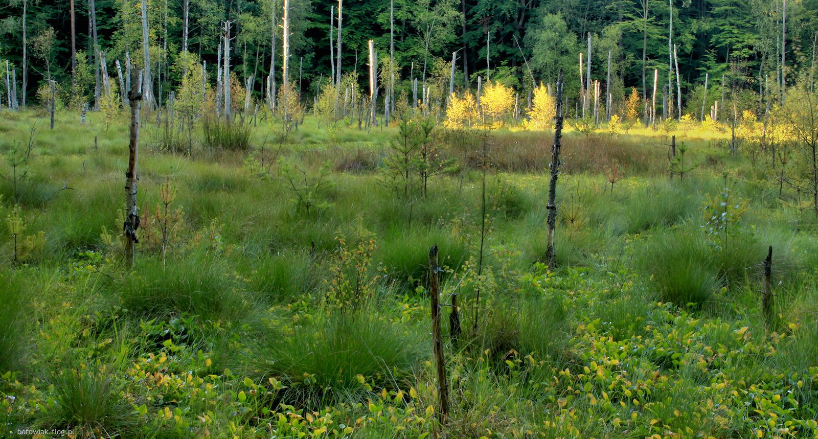 Natura nie pozwala deptać bagiennych trawników...