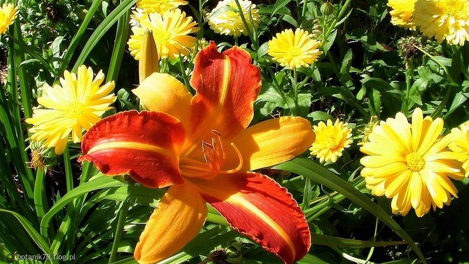 Ostatnie liliowce tego lata w moim botaniku.