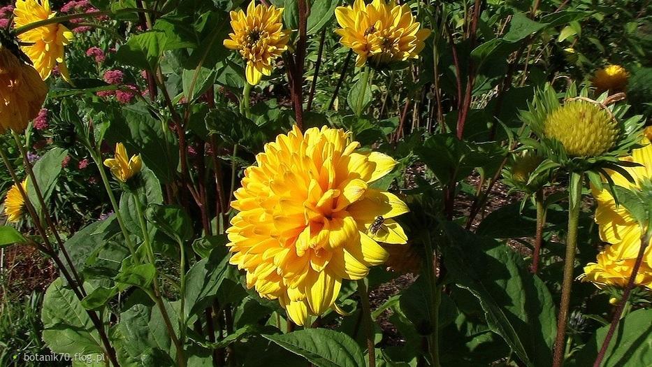 W moim botaniku. Dalia z dawnych lat, jeszcze kwitną w botaniku,wczorajsza fotka.