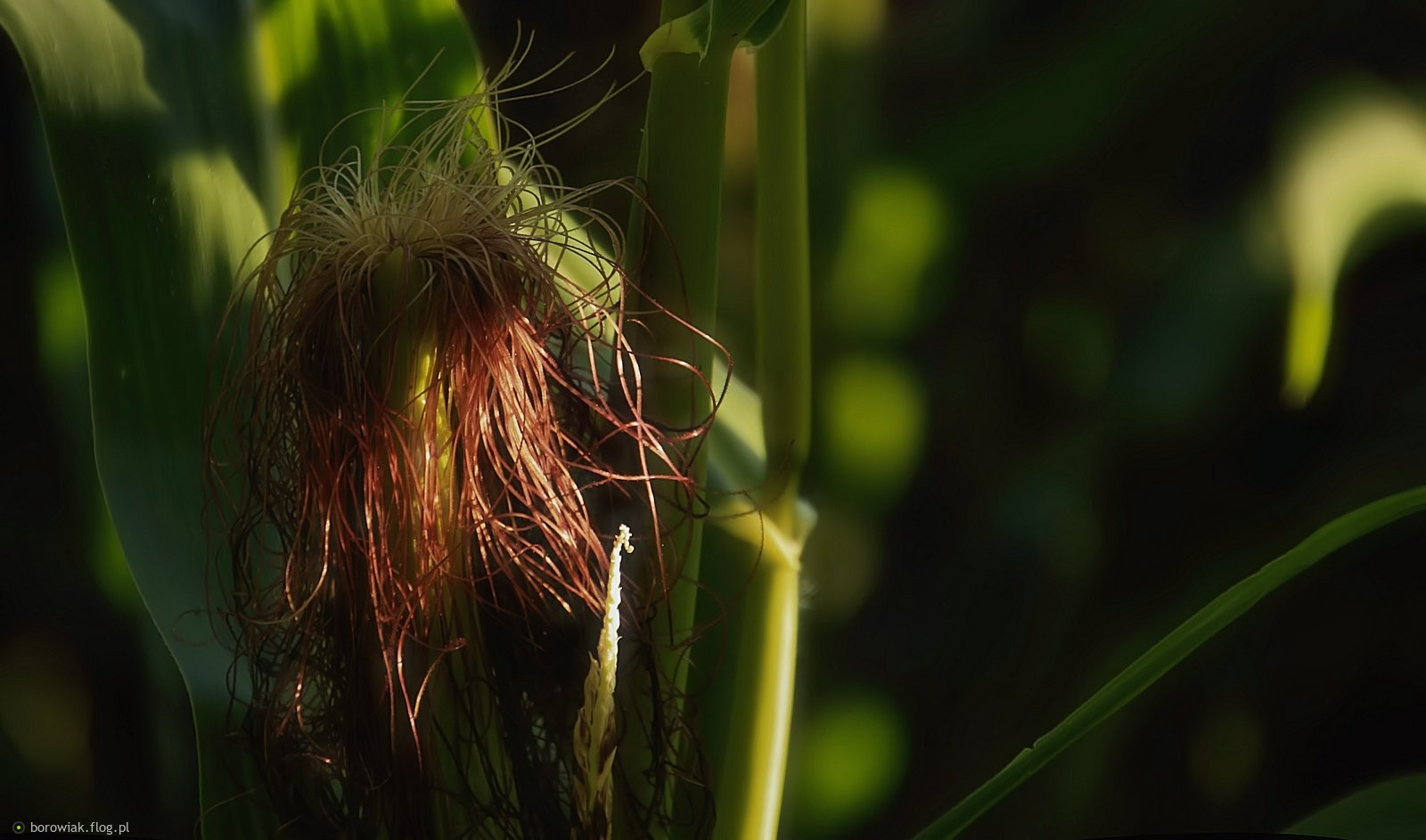 Kukurydziane fryzurki...