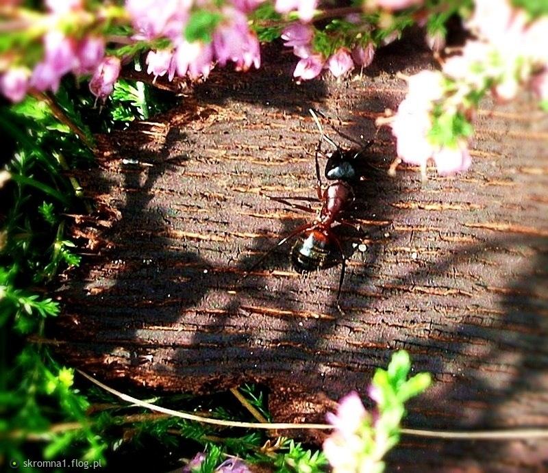 Wrzosowy dywanik, drewniana łódeczka , a na niej mrówka spragniona słoneczka:)