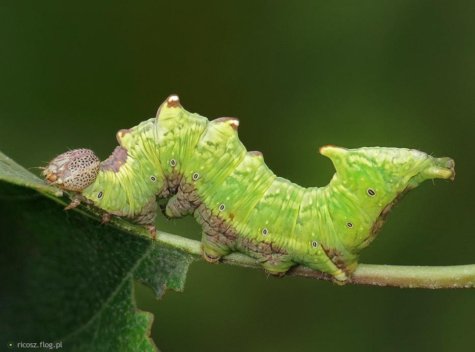 Garbatka dromaderka (Notodonta dromedarius)