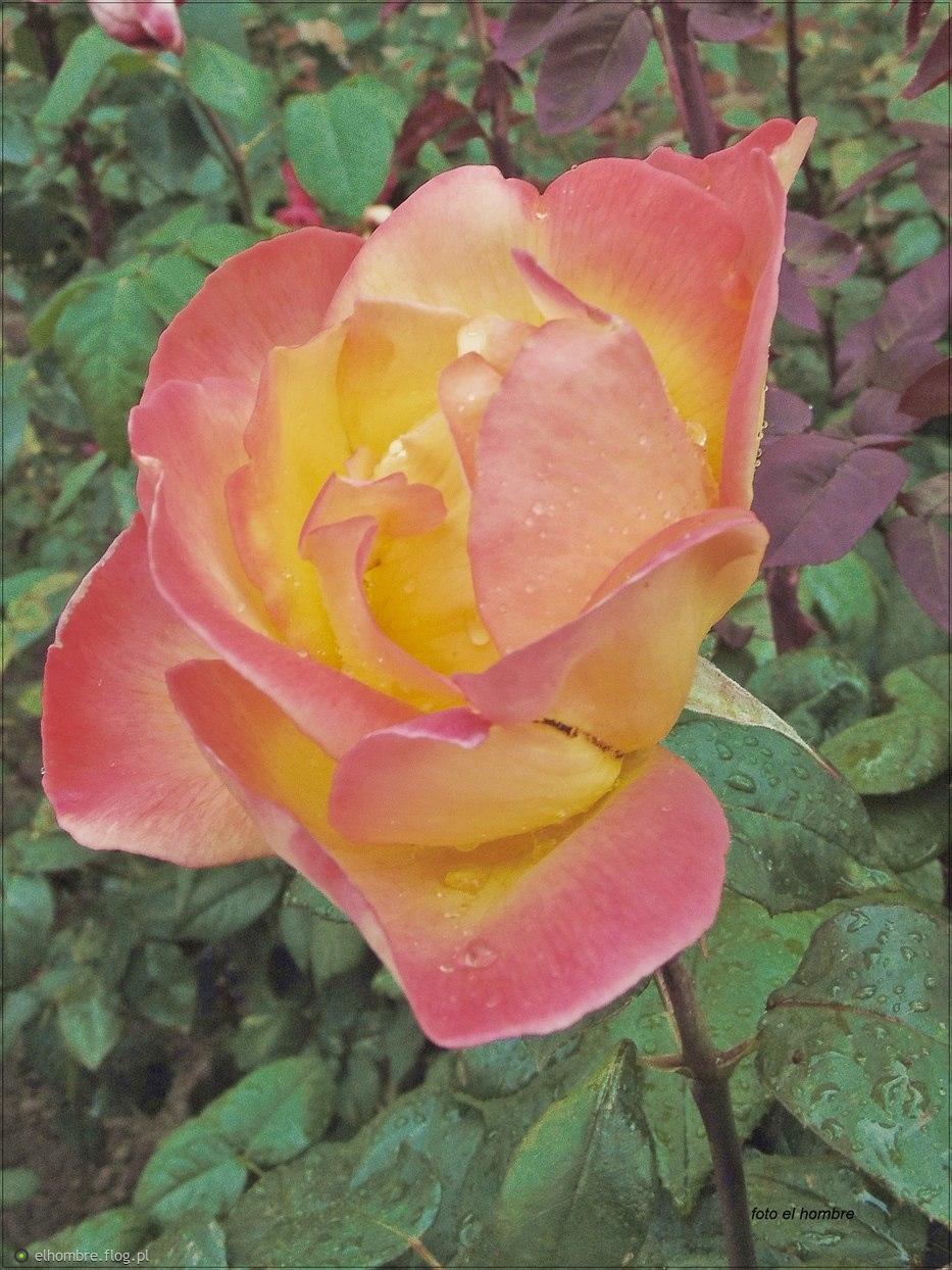 Róża ...