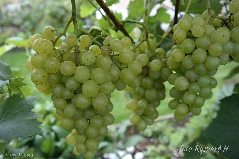 Trzy gatunki winogrona,wszystkie bardzo smaczne!