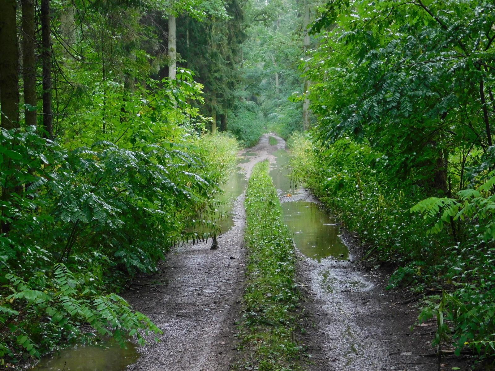 Deszczowy spacer przez Lasy Pomiechowskie
