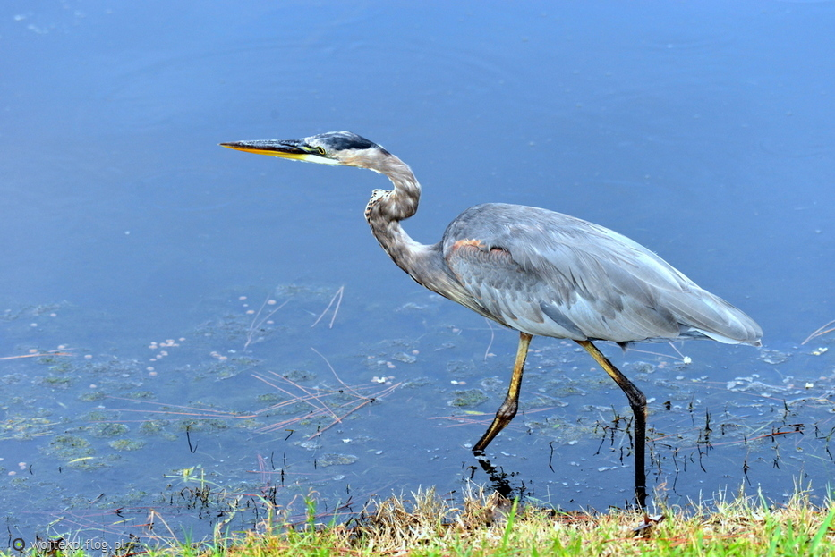 GREAT  BLUE  HERON w SURF WATCH