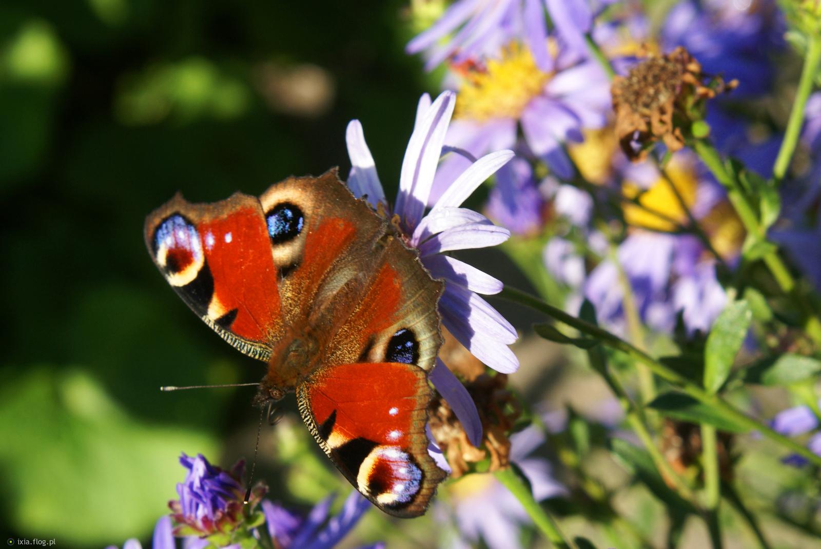 Wrześniowy motylek dla Ciebie w podziękowaniu za pająka :)