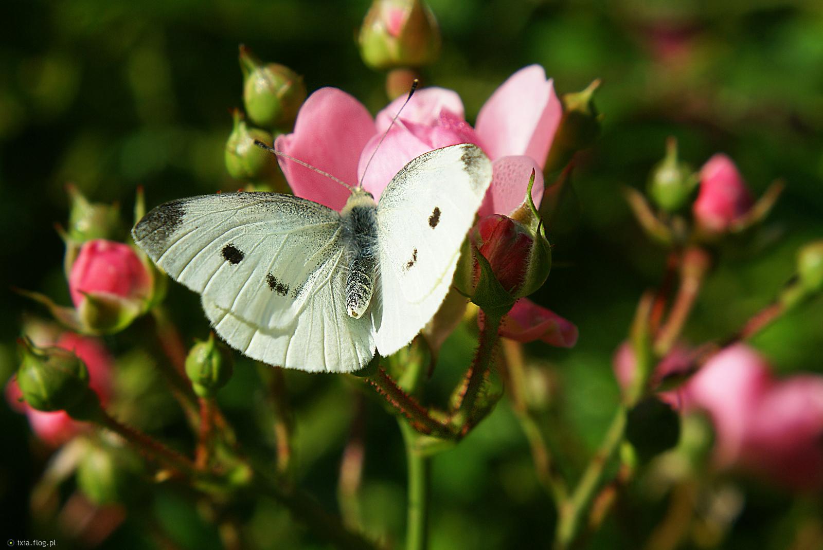 Dla Ciebie wrześniowy motylek w podziękowaniu za portret ważki :)