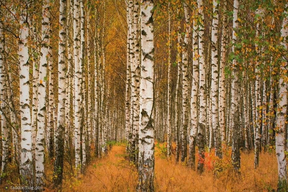 W brzozowym lesie
