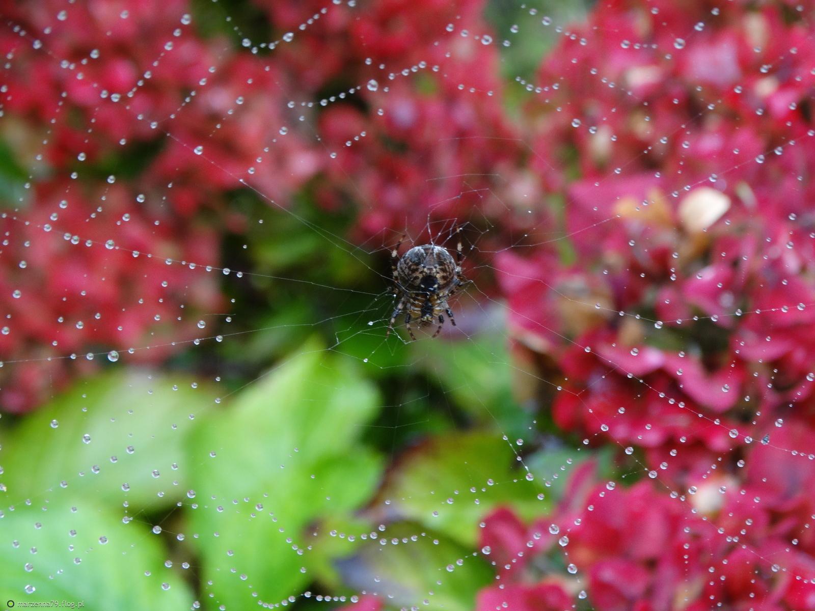 Jesienne hortensje z mojego ogrodu + filmik dla Ciebie Madlenko w rewanżu ⊰✿⊱