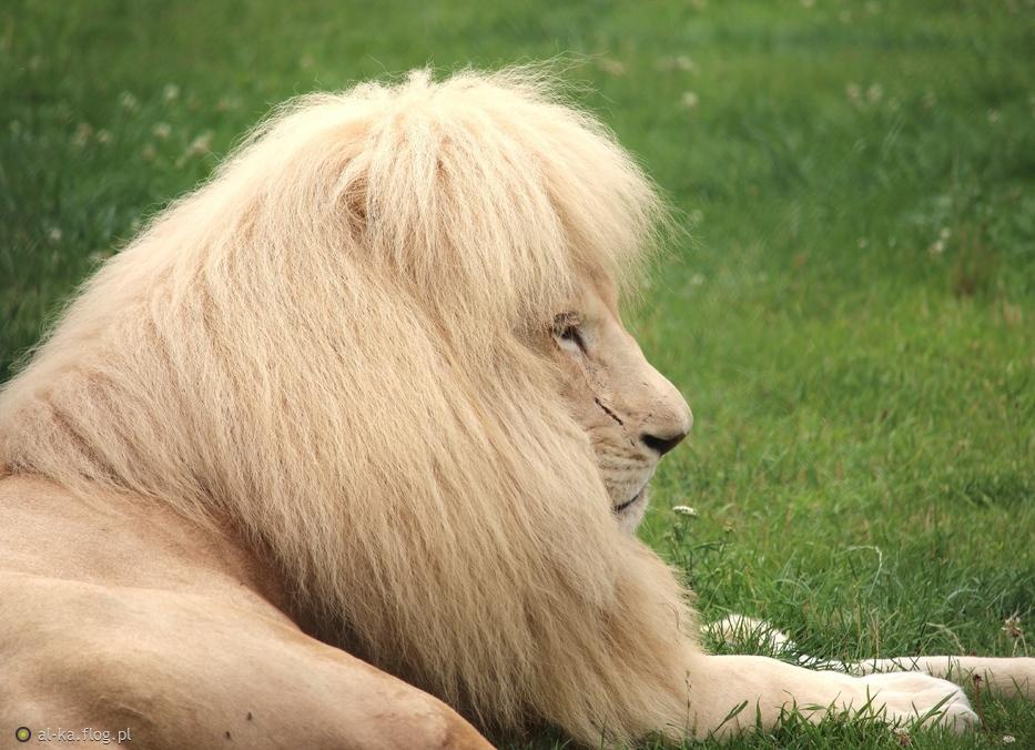 z pozdrowieniami...taka sobie przytulanka...biały lew...