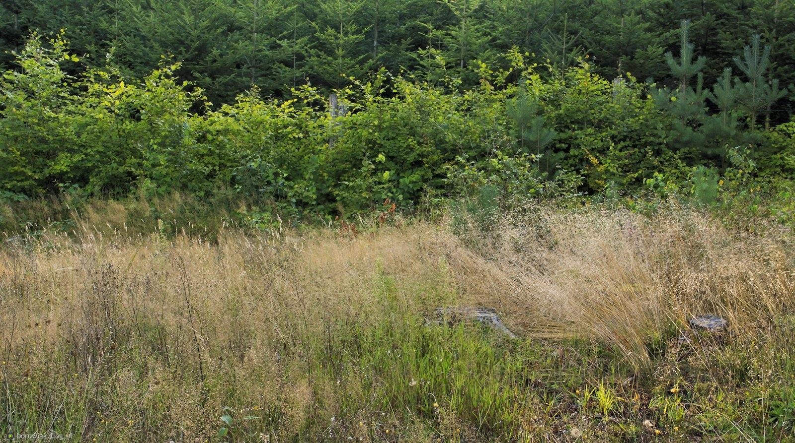 Trawy już suche, buki jeszcze zielone...