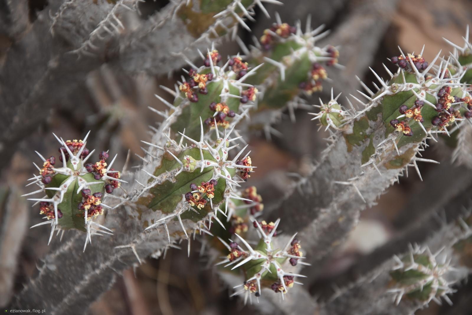 Marokańskie kaktusy