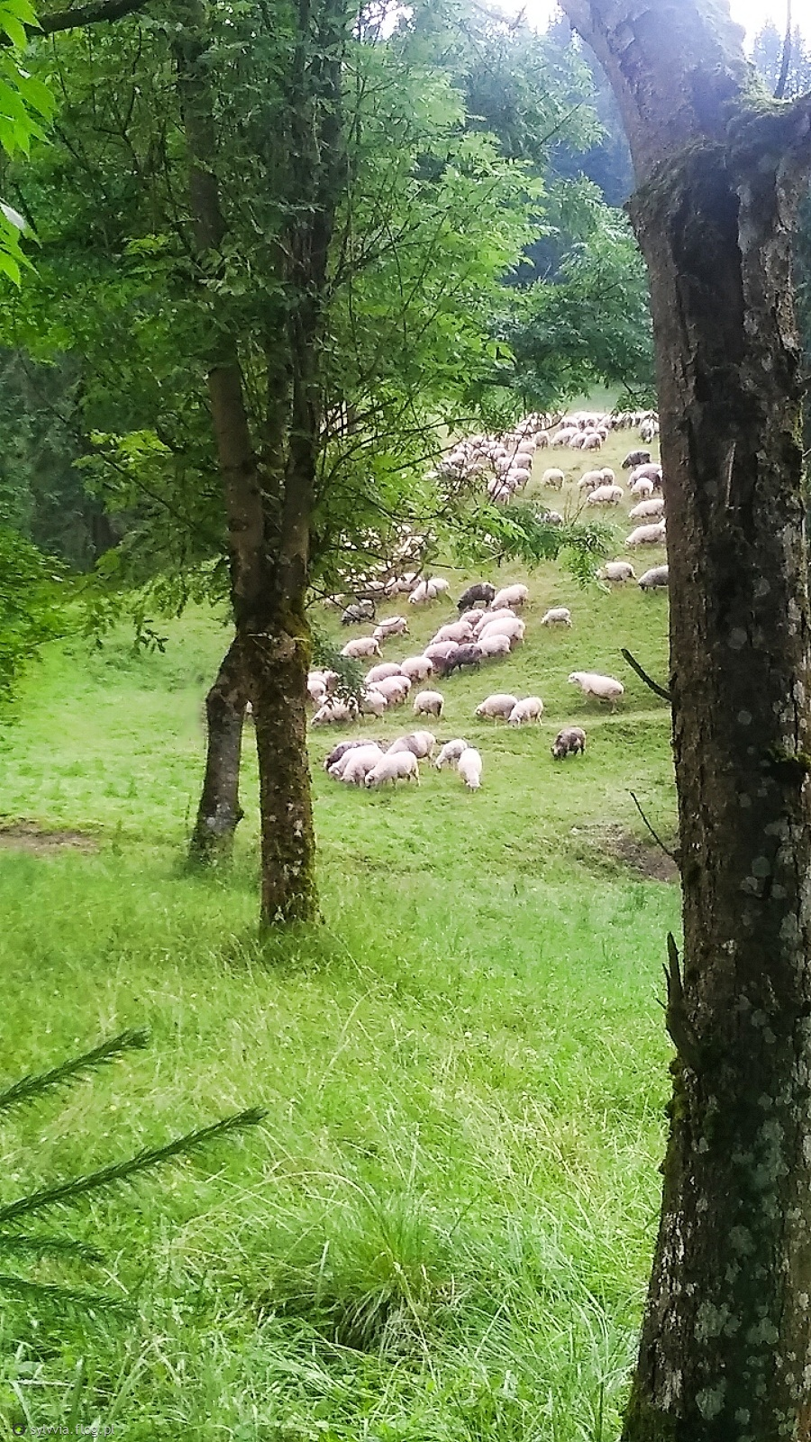 Owieczki w Kuźnicach :)