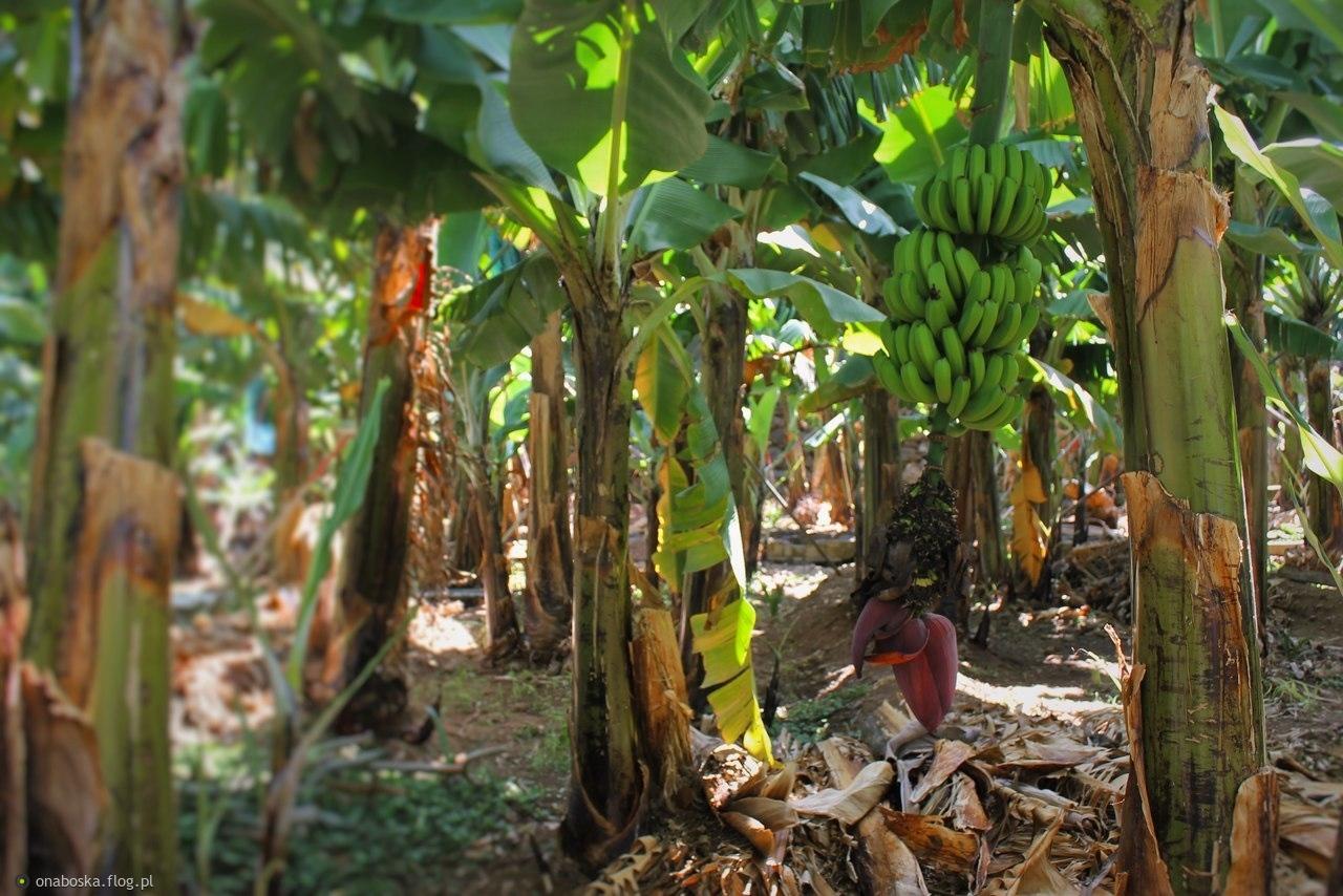 """I na wyspach bananowych """"bananówkę"""" pić :)"""