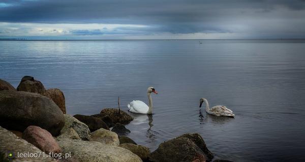 http://s24.flog.pl/media/foto_middle/12144954_biale-labedzie-niechaj-plyna-niech-plyna.jpg