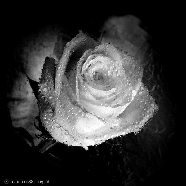 http://s24.flog.pl/media/foto_middle/12244725_roza-w-bampw.jpg
