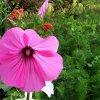 W moim botaniku. Piękno ślazówki letniej. ::