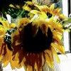 ::     Czas kwitnienia słoneczników.               Pochwalę się moich słoneczników .