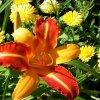 Ostatnie liliowce tego la<br />ta w moim botaniku. ::