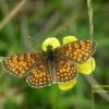 Melitaea phoebe - przepla<br />tka febe, 1.06.2017, Sili<br />cká Planina, Gemer, Słowa<br />cja.