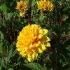 W moim botaniku. Dalia z dawnych lat, jeszcze kwitną w botaniku,wczorajsza fotka. ::