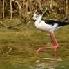 Mój ulubieniec:)Szczudłak (Himantopus himantopus) :: Szuflandia:) Wracając do niej nie omieszkam ominąć tego fantastycznego ptaszka :)Kadr wykonany w Por