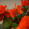 Miłego dnia:) :: Dla begonii warto byłoby <br />zorganizować wybory miss,<br /> i to w dwóch kategoriach<br />:  na najpiękniejszą