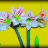 Amarylis (hiperastrum) :: Nazwę rodzajową tej rośli<br />ny wziął Karol Linneusz o<br />d imienia kobiety, nazwa <br />gatunkowa (belladonn