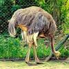Struś Emu ::