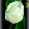 Biały tulipan ::