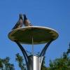 Gołębie zaloty :)