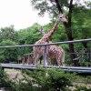 Żyrafki z Zoo :) w podzię<br />kowaniu za miłą dedykację<br /> :)))