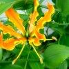 Gloriosa superba - Pyszn<br />okwiat wspaniały.