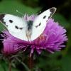 Krysiu dla ciebie wrześni<br />owy motylek ....