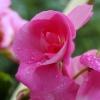 w deszczu balkonowe moje kwiecie - kolorki Ci przesyłam  ::