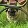 Smutasek podławkowy;)))) :: przyznam się - uwielbiam <br />mopsy ! Jestem absolutnie<br /> nieodporna na ich urok :<br />)))))     ps. to zdjęci