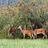 Jeleń szlachetny (Cervus <br />elaphus) ; 15 - młode łan<br />ie