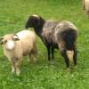 Baranki i owieczki.... Pa<br />weł dla Ciebie nasze pols<br />kie :))