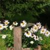 Dorotko u sąsiadów rośnie<br /> kwiat bardzo motylkowy :<br />))