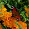 Aksamitki i motyle---było<br /> dziś trochę Słońca.