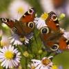 Jesienne motyle :: Dzisiaj miałem nalot głów<br />nie pawików na kwitnące m<br />arcinki pokazał się nawet<br /> pokrzywnik