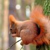 Trzy kolory :: Ruda sfotografowana w Polsce w Ciechocinku w Parku Sosnowym, Szara i Czarna  w Stanach w okolicach W