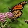 Monarcha i trzmiele :: Kiedy kwitnie sadziec owady zawsze na nim spotkac mozna, czasami robi sie tlok, nie wszystkie sie mi