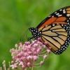 Monarcha  na sadzcu :: Motyl wedrowniczek, od Kanady  leci do Meksyku, u mnie bywa pod koniec sierpnia lub na poczatku wrze