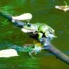 Żaba zielona (Rana escul<br />enta complex )