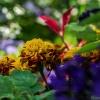 W podziękowaniu dla Ciebie Lorii :) :: Aksamitki lubią kolorowe towarzystwo.